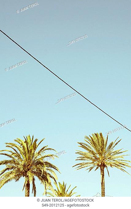 Palms in Cullera, Valencia, Spain
