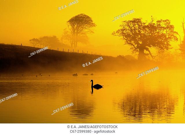 Mute Swans at Sunrise on foggy morning