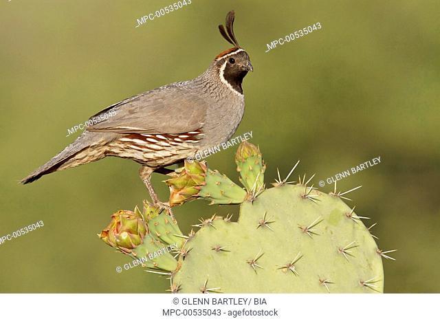 Gambel's Quail (Callipepla gambelii) male, southern Arizona