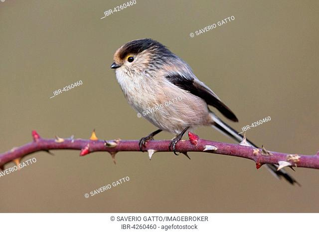 Long-tailed tit or long-tailed bushtit (Aegithalos caudatus), standing on dog-rose (Rosa canina) branch, Campania, Italy