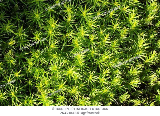 Moss Sprouts. Schluesslberg. Austria