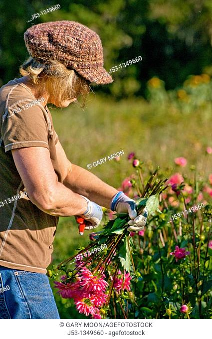Farmer picking dahlias on organic flower farm to be sold at farmers market, Humboldt County, California