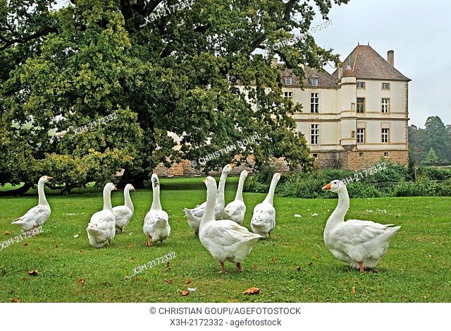 goose in the park of the Castle of Cormatin, Saone et Loire department, Burgundy region, France, Europe