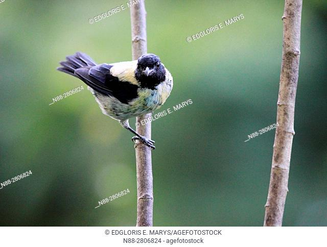 Black-headed tanager, Tangara cyanoptera perched in a branch in the forest, Altos Mirandinos, Venezuela