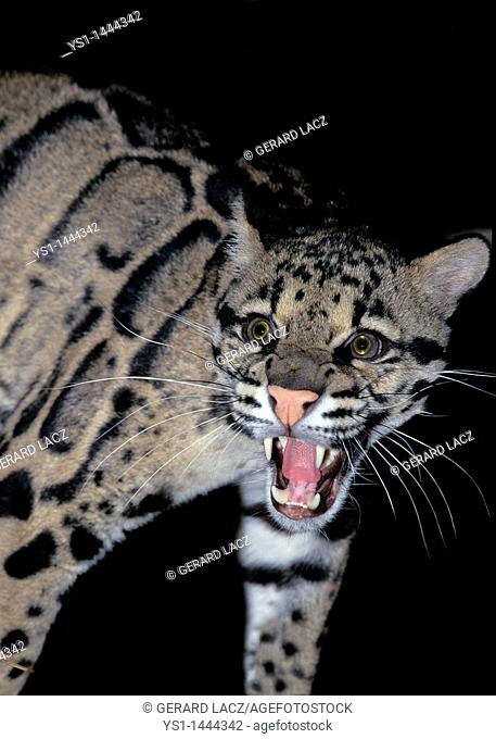 CLOUDED LEOPARD neofelis nebulosa, ADULT SNARLING