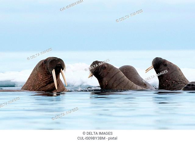 Small group of Atlantic walruses (Odobenus rosmarus) swimming in ocean, Vibebukta, Austfonna, Nordaustlandet, Svalbard, Norway