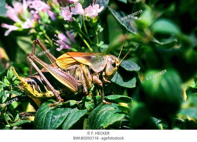 Bush cricket (Psorodonotus illyricus, Psorodonotus fieberi), male