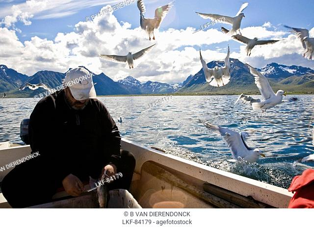 A fisherman cleaning his caught fish, seagulls flying around, Hadselsand, Austvagoya Island, Lofoten, Norway