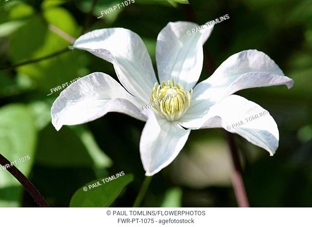 Woodbine, Clematis virginia, A single white flower of the wild clematis