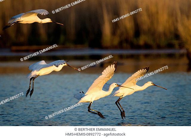 France, Morbihan, Presqu'ile de Rhuys, Sarzeau, Eurasian Spoonbill (Platalea leucorodia) in Suscinio marshes