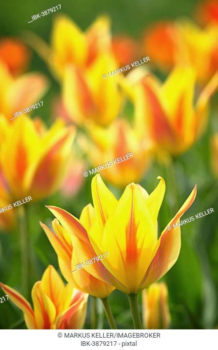 Tulips (Tulipa), Baden-Württemberg, Germany