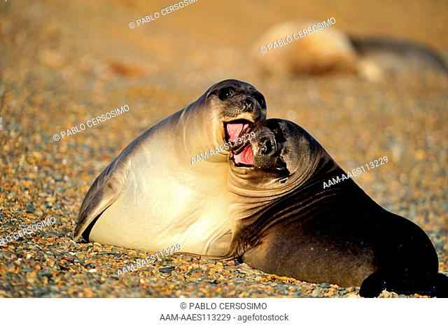 Seal, Southern Elephant Seal, Mirounga Leonina, pups playing, Peninsula Valdes, Patagonia, Argentina, South America, South Atlantic