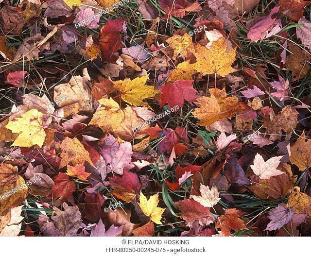 Autumn Fall colour leaves - Maple - Birch - Poplar - Great Smoky Mountains, USA