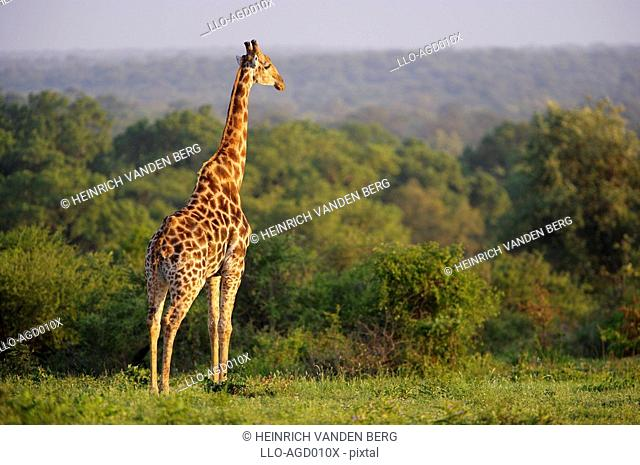 Lone Giraffe Giraffa camelopardalis Overlooking Lush Vegetation  Sabi Sands Conservancy, Mpumalanga Province, South Africa