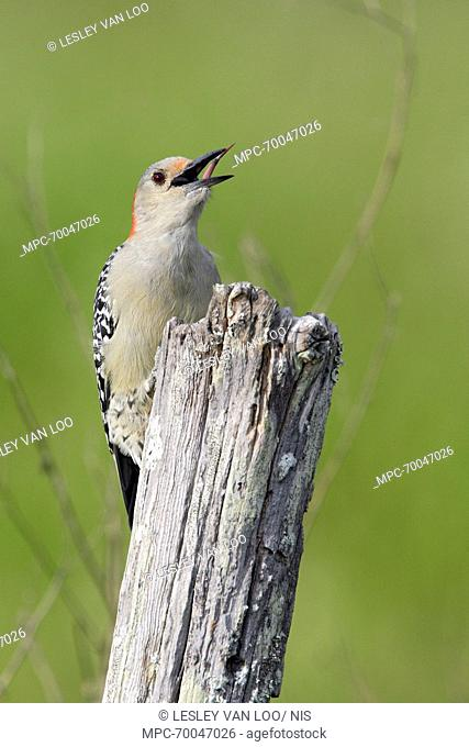 Red-bellied Woodpecker (Melanerpes carolinus) sticking out tongue, Florida