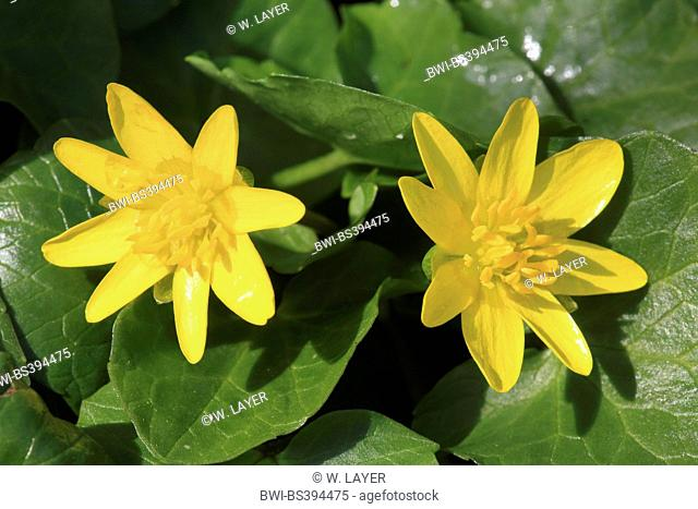 lesser celandine, fig-root butter-cup (Ranunculus ficaria, Ficaria verna), flowers, Germany