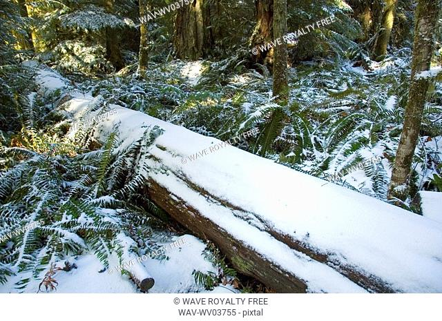 Snowy trees of old growth forest in Cathedral Grove in MacMillan Provincial Park, near Port Alberni, Vancouver Island, BC