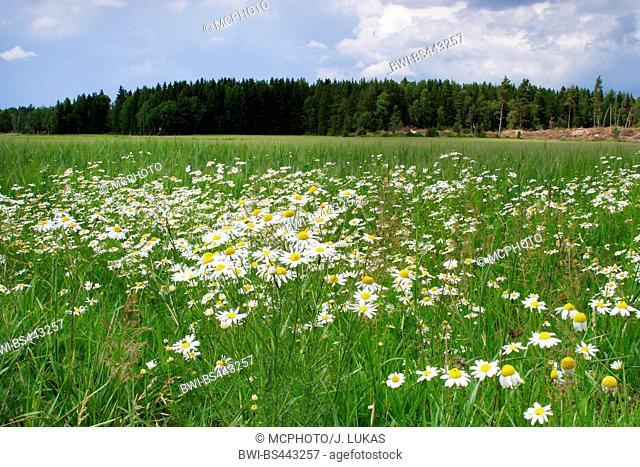 Scentless mayweed, Scentless chamomile (Tripleurospermum perforatum, Tripleurospermum inodorum, Matricaria inodora), blooming at the field boundary, Sweden