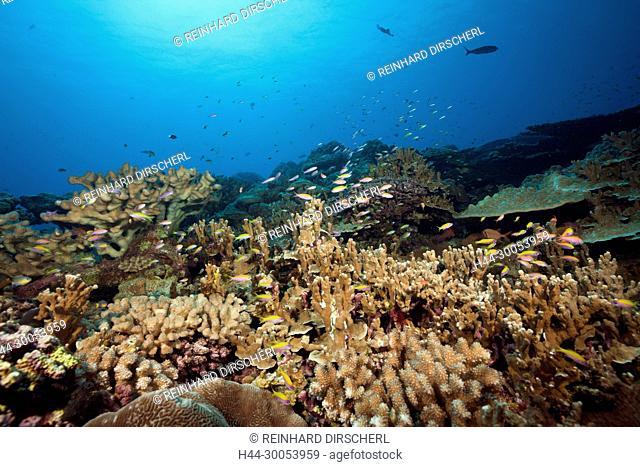 Yellowback Anthias over Coral Reef, Pseudanthias evansi, Christmas Island, Australia