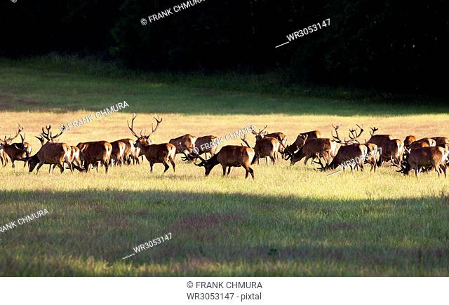 Large Herd of Elks Grazing on a Meadow near Forest