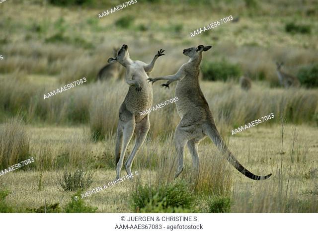 Eastern Grey Kangaroos boxing, (Macropus giganteus), Australia