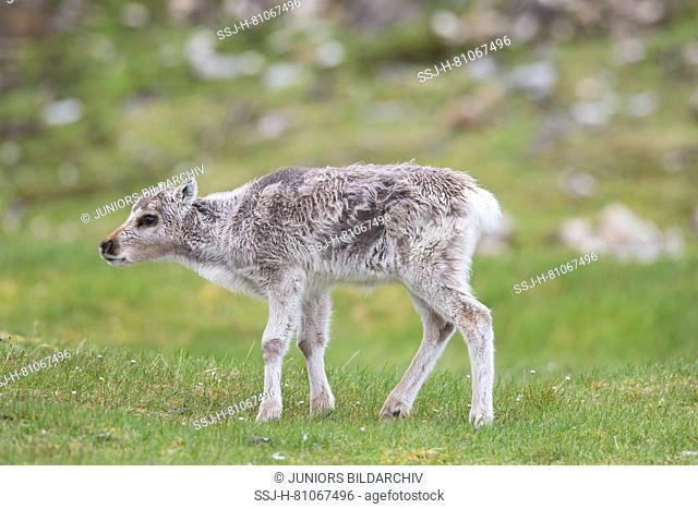 Svalbard Reindeer (Rangifer tarandus platyrhynchus). Baby standing in tundra. Svalbard