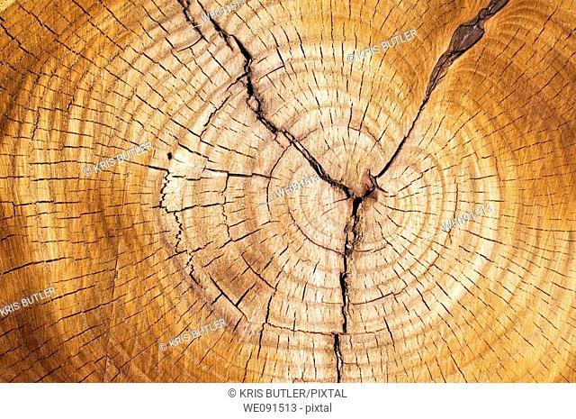 Tree rings in a cut down tree