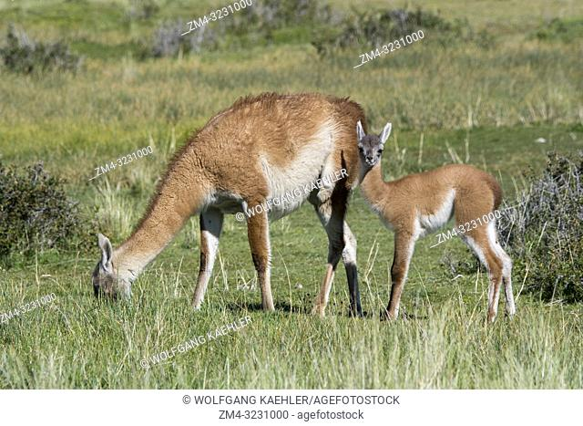 A mother guanaco (Lama guanicoe) with a baby (chulengo) in Torres del Paine National Park in southern Chile