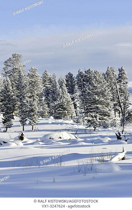 Snow covered conifer trees on plains, fresh deep snow in the caldera of Yellowstone National Park, Winter in Wyoming, USA