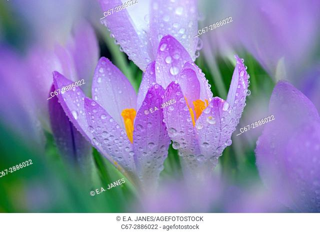 Spring Crocus in early morning dew