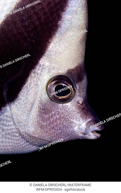 Longfin Bannerfish, Heniochus acuminatus, Ambon, Moluccas, Indonesia