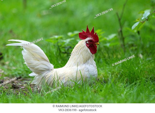 Leghorn Domestic Chicken, Cockerel, Hesse, Germany