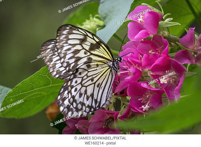 Idea leuconoe, the paper kite, rice paper or large tree nymph butterfly on red flowers