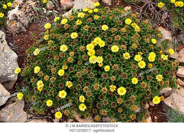 Gold coin daisy (Asteriscus maritimus or Pallenis maritima) is a perennial herb native to west Mediterranean coasts, Canary Islands and Greece