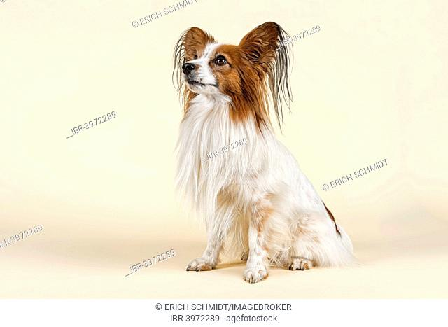 Papillon dog, male, 7 years, colour white sable