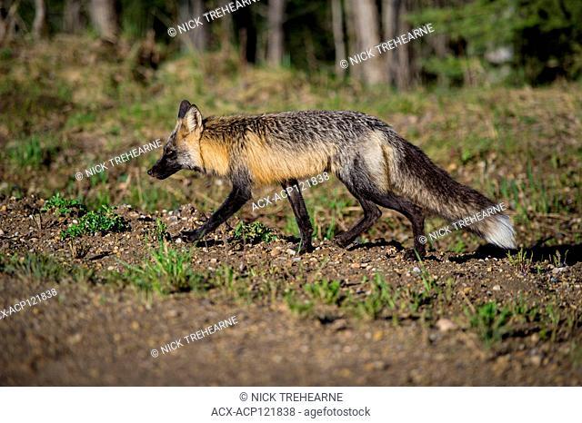 Vulpes vulpes - Fox, Alberta, Canada