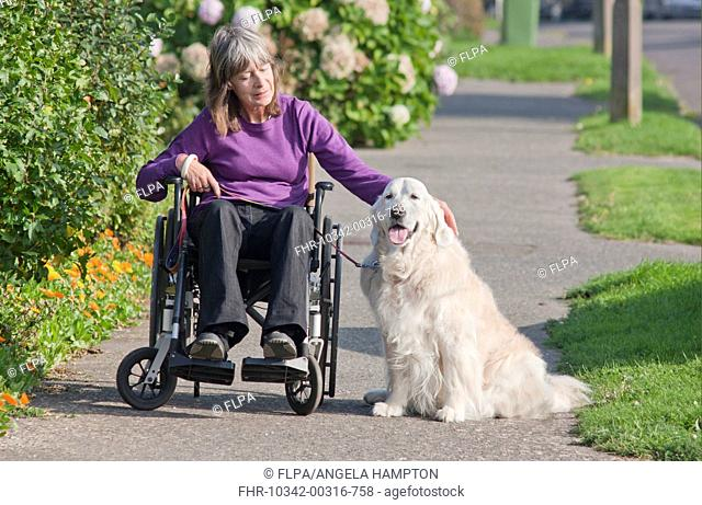 Domestic Dog, Golden Retriever, adult, on pavement with disabled owner confined to wheelchair, England