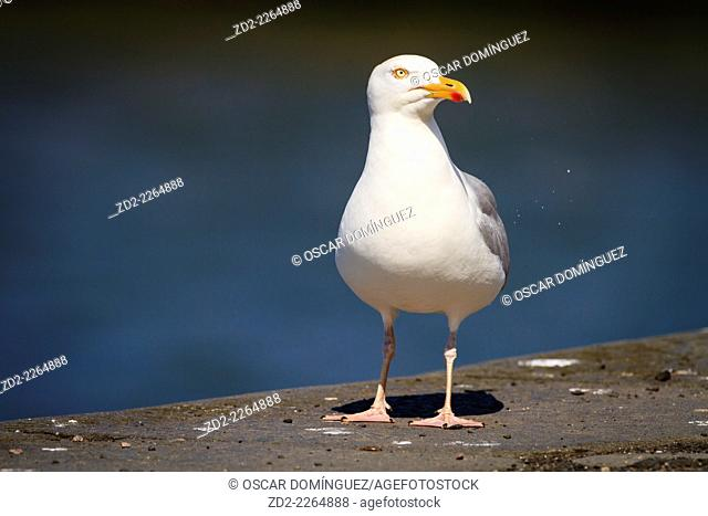Herring Gull (Larus argentatus) standing on ground. Dunbar. East Lothian. Scotland. UK
