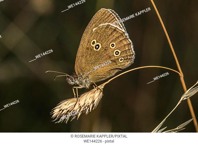 Germany, Saarland, Bexbach - A meadow brown is sitting on a grass-stock