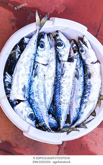 various mackerels in a bowl, cleaned and ready for grilling, algarve, portugal