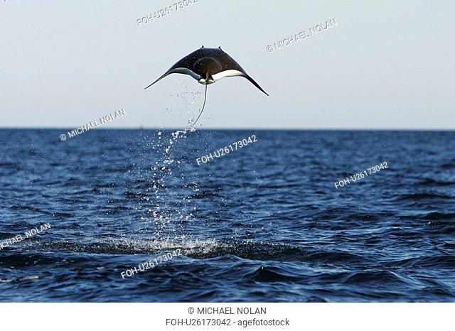 Adult Spinetail Mobula Mobula japanica leaping out of the water in the upper Gulf of California Sea of Cortez, Mexico. Note the long whip-like tail longer than...