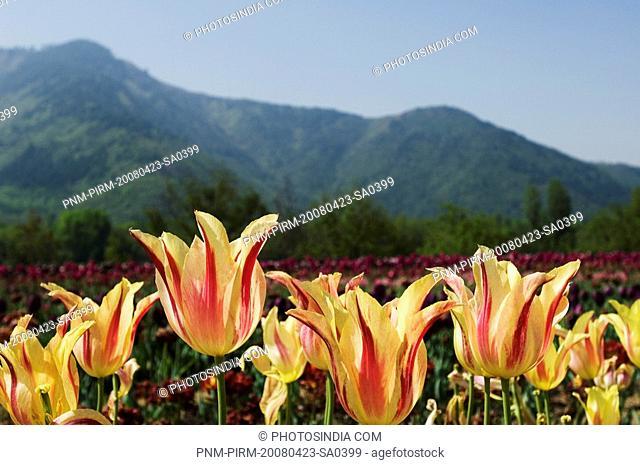 Tulips in a garden, Indira Gandhi Tulip Garden, Srinagar, Jammu And Kashmir, India
