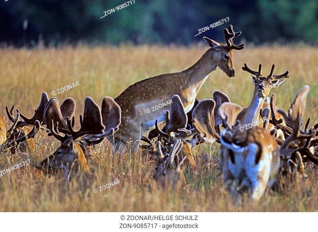 Damhirsch, ist das Wachstum des Geweihs abgeschlossen, fegt der Hirsch die Basthaut an Baeumen und Straeuchern ab - (Foto Damhirsche im Bast) / Fallow Deer