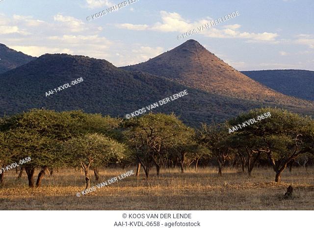 Acacias, Scented thorn, Acacia nilotica, Kaokoland, Namibia, Africa