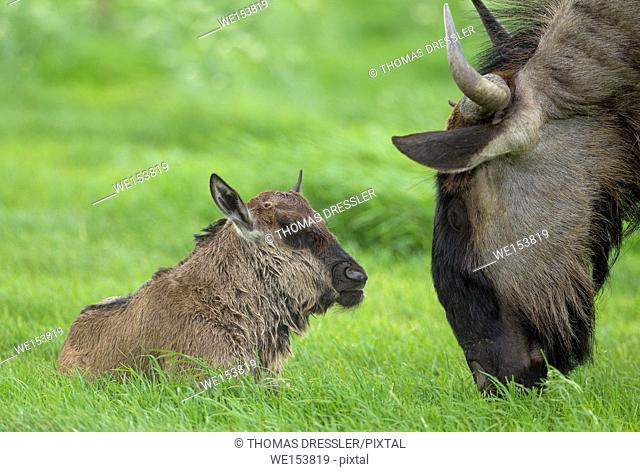 Blue Wildebeest (Connochaetes taurinus taurinus). Female and her newly born calf. During the rainy season in green surroundings
