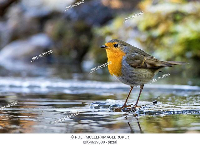 European robin (Erithacus rubecula) stands on ice rink, Baden-Württemberg, Germany