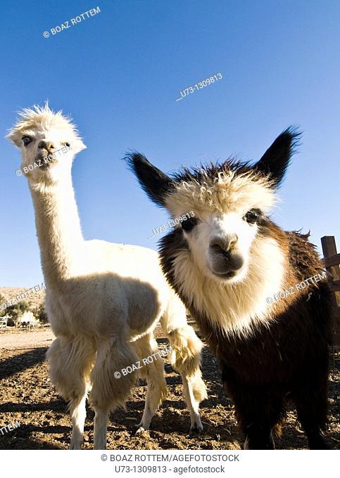 Curious Alpacas at the Alpaca farm in Mitzpe Ramon, Negev desert, Israel
