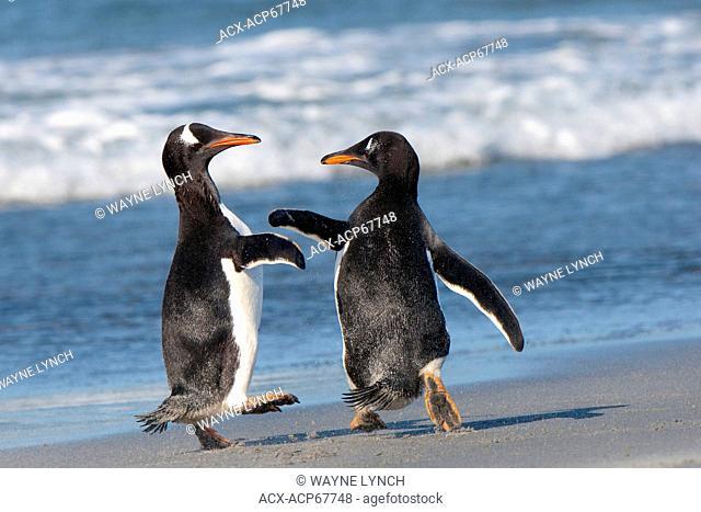 Gentoo penguins (Pygoscelis papua) squabbling on the shoreline, Falkland Islands, Southern Atlantic ocean