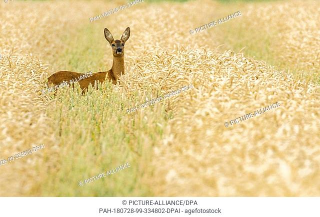 28 July 2018, Germany, Krummhoern: A deer hides in a densely overgrown grain field. Photo: Mohssen Assanimoghaddam/dpa. - Krummhoern/Lower Saxony/Germany