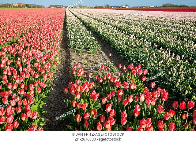 tulip fields at Texel